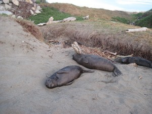 Elephant Seals on North Coast